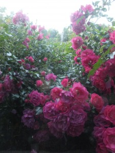 Rose bushes gone mad!
