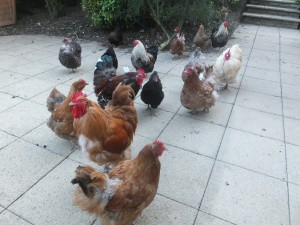 Chicken Gathering